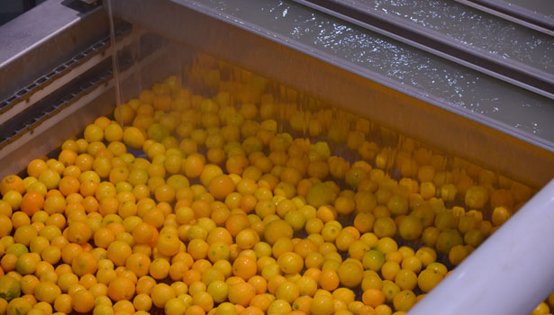 Both the pre-grade and packaging lines provide washing, drying and waxing of Halos clementines