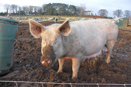 Pork virus reported in 15 states