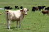 USDA finalizes regulations for traceability of US livestock