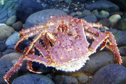 Crab fisherman in limbo