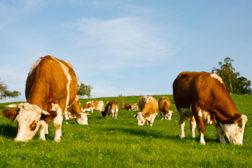 ireland cows