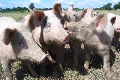 USDA funds fight against pork viruses