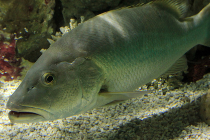 21 species of fish upgraded on watch list 2014 09 04 for Freshwater fish representative species