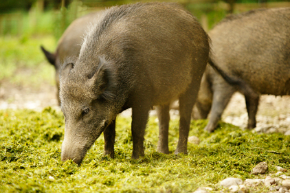 Sodium nitrite tested as poison on feral swine