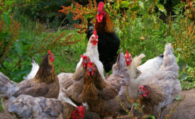 APHIS to issue environmental assessment and RFP for bird flu vaccine