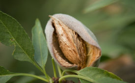 California almond industry launches strategic effort to cultivate innovation, sustainability