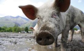 Minnesota pork processor announces more changes over undercover video