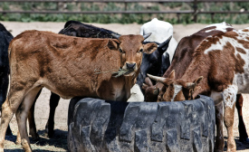 Cargill eliminates 20 percent of shared-class antibiotics used for beef cattle