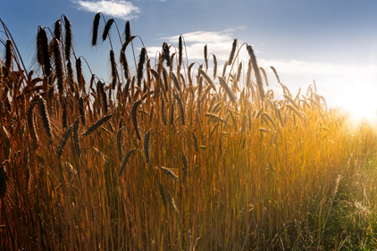Wheat--a staple grain