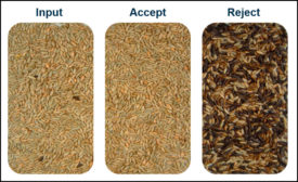 Optical sortation spots ergot infestation in grain